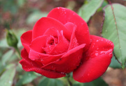Neighborhood_Rose_with_rain-1000px